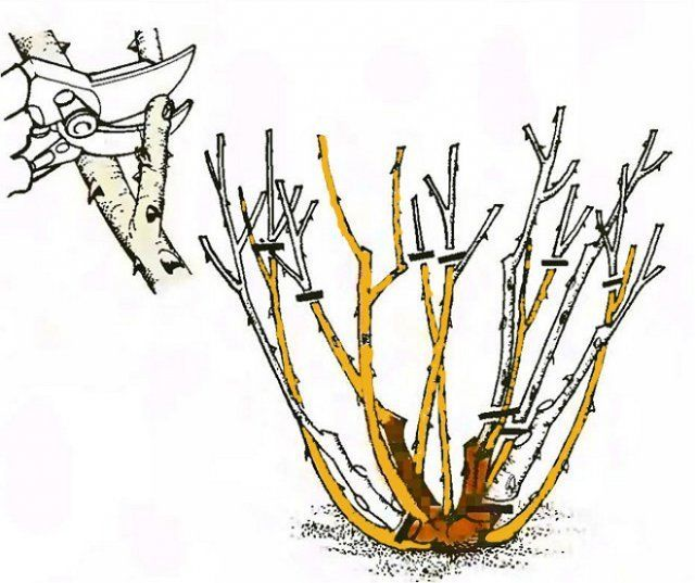 Схема обрезки роз Флорибунда