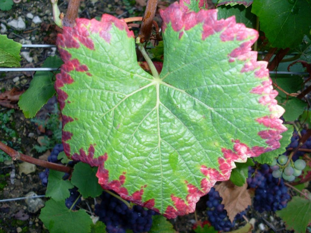 Нехватка фосфора у винограда