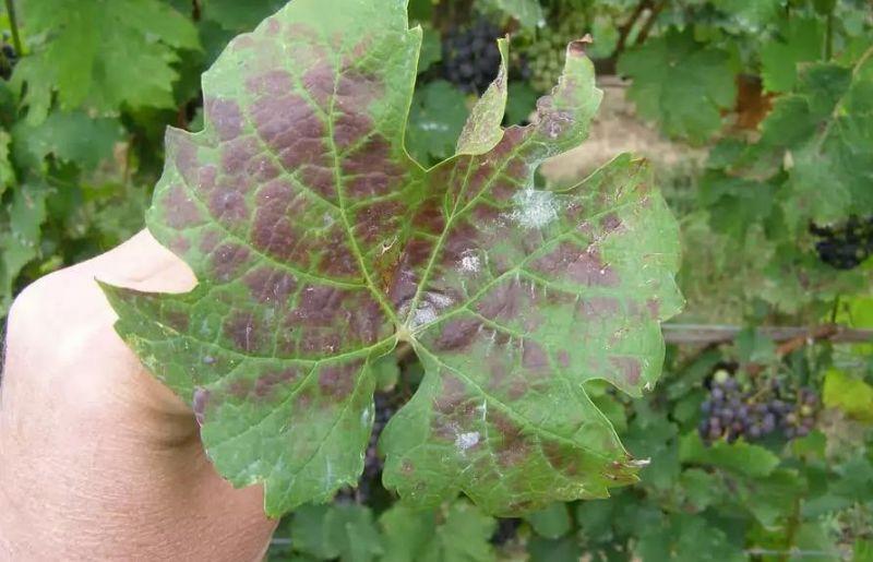 Признаки нехватки калия у винограда
