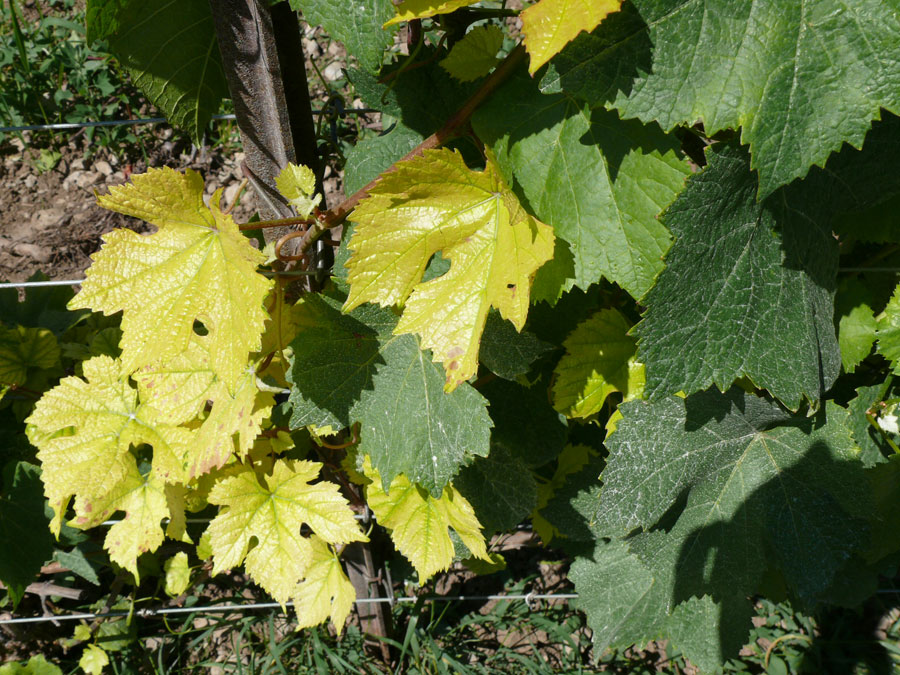 Карбонатный хлороз винограда