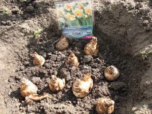 На фото - можно ли посадить нарциссы весной, fotki.yandex.ru