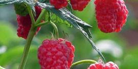 Уход за малиной весной – вкусный урожай в три этапа!