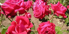 Чем подкормить розы весной, чтобы вырастить красивые цветы?
