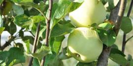 Подкормка яблонь весной – растим яблоневый сад!