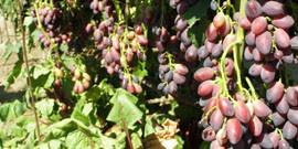 Подкормка винограда весной – все, что любит лоза!