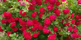 Посадка роз весной в грунт – все нюансы и ключевые моменты!