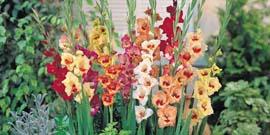 Как сажать гладиолусы весной – повышаем мастерство!