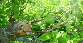 Прививка яблони весной – новые сорта на старом дереве!
