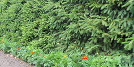 Живая изгородь из лиственницы