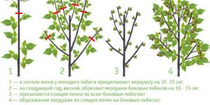 Уход за малиной весной: основы двойной обрезки фото