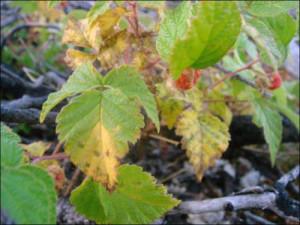 Обработка малины весной от вредителей