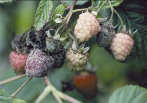 Обработка малины весной от вредителей фото
