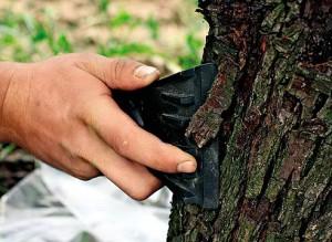 На фото - очистка яблони от лишайников и отслоившейся коры, liveinternet.ru