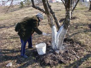 Фото побелки яблонь от вредителей весной, uniinaturalist-3.blogspot.com