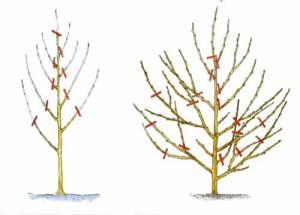 На фото - схема обрезки персика весной, plodopitomnik.com.ua