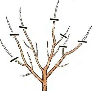 Фото схемы обрезки персика весной, bershoz.com
