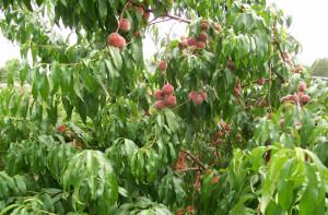 Фото дерева персика, brodskii.ru