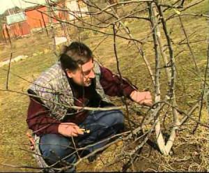 На фото - обрезка грецкого ореха весной, sroogle.ru