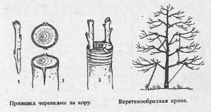 На фото - прививка ореха весной, botanicheskij-sad.ru