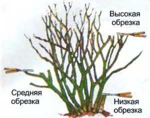 На фото - схема обрезки роз весной, queen-flowers.ru