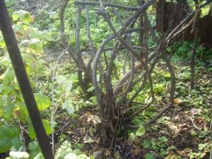 Какие преимущества имеет обрезка винограда осенью – в картинках!