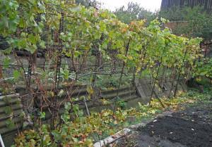 Обрезка старого винограда осенью: схема и осуществление работ