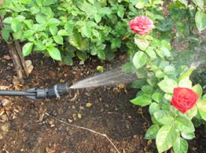 Обработка роз весной – лучшая защита от болезней