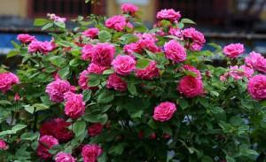 Чем подкормить розы весной для их быстрого развития? фото