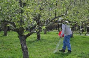 На фото - удобрение яблонь весной, fb.ru