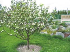 На фото - яблоня весной после подкормки, sadovoda.ru