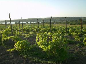 На фото - чем подкормить весной виноград, sad-docent.blogspot.com