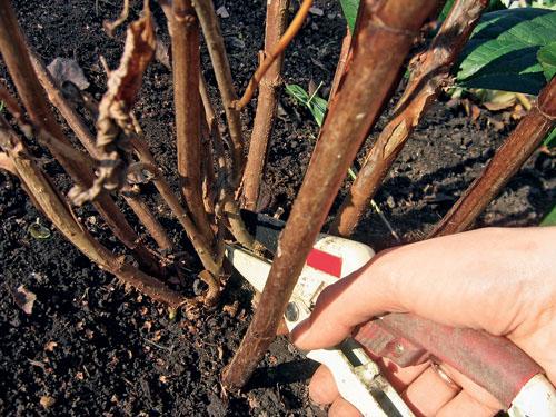 Когда можно сажать гортензию осенью или весной 64