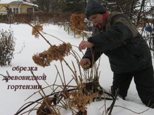 Фото обрезки Гортензии, green-villa.ru