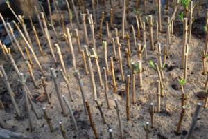 Фото размножения сирени черенками, chechersk.jimdo.com