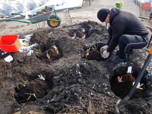 Фото посадки роз, read.bestgarden.ru