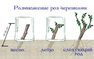 На фото - размножение роз черенками весной, landscape-project.ru