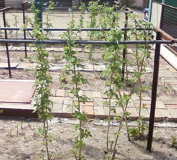 Посадка малины весной агротехника