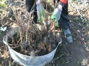 Фото рассадки малины весной, youtube.com