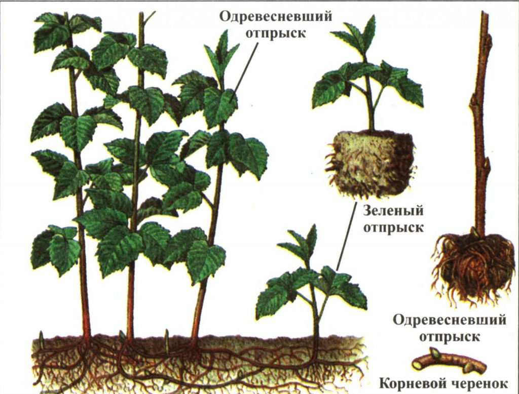 Виды посадочного материала малины