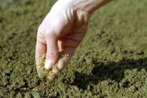Как правильно посадить морковь весной – все дело в почве?