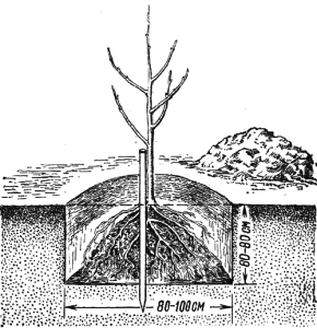 На фото - посадка груши весной, lib.rus.ec