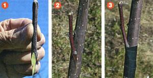 Фото прививки груши на рябину весной, bestgardener.ru