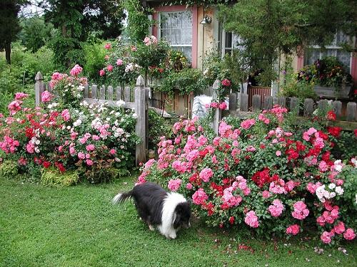 Почвопокрывные розы