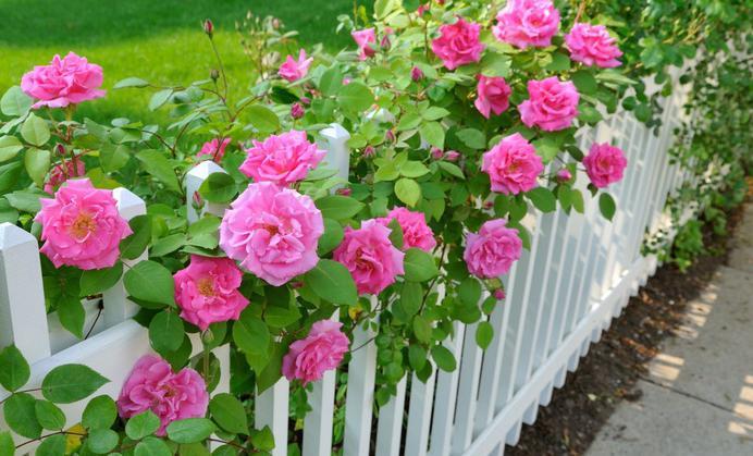 Плетистые розы у забора