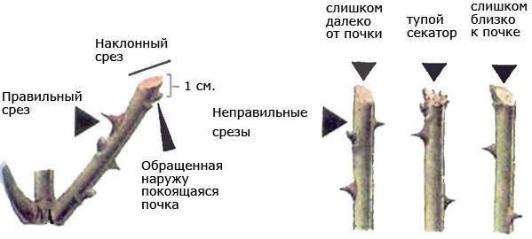 Схема правильной обрезки роз