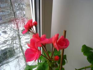 Защищаем цветы от замораживания, сквозняков и холода
