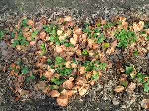 Восстановление клубники после зимы – возвращаем к жизни