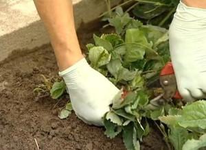 Готовим клубнику к зиме или как получить богатый урожай в следующем году?