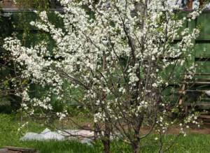 Борьба с вредителями вишни весной фото