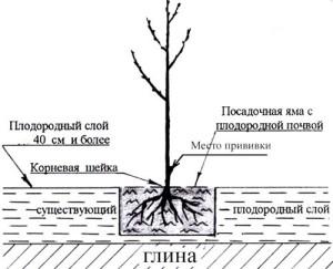 Как посадить черешню весной – покупаем саженец и выбираем место